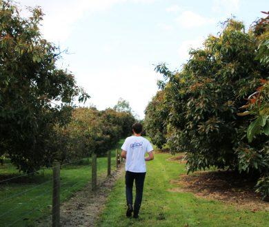 The Avo Tree