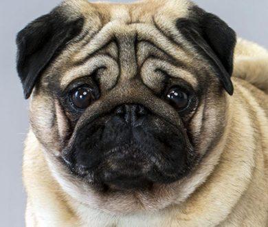 'Hug A Pug' day is a thing and it's coming to a park near you