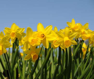 Daffodil Day is going digital to support cancer patients at this difficult time — here's how you can donate